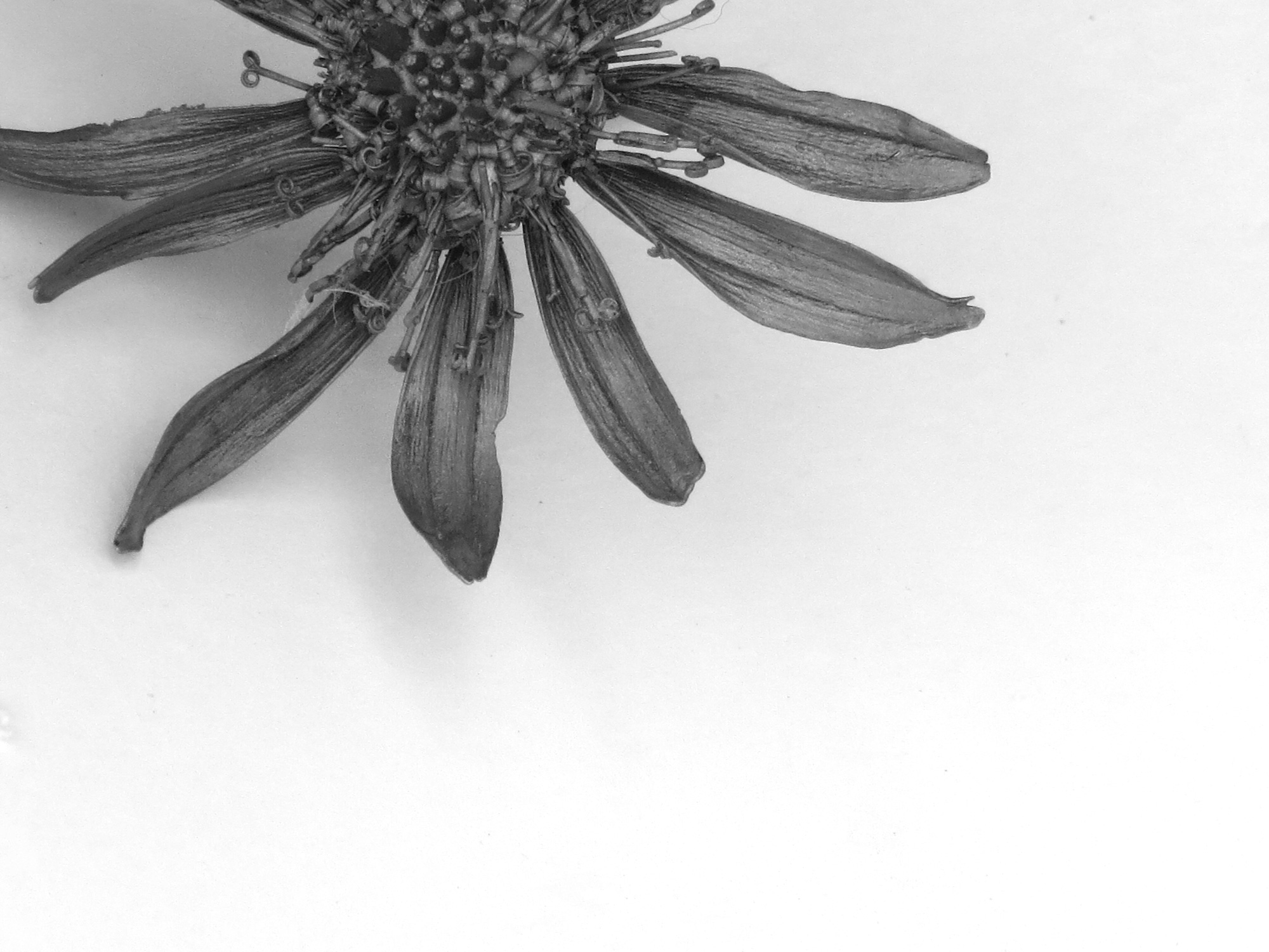 Gelbe Blume   2016